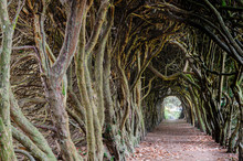 Tree Tunnel Made Over Years By...