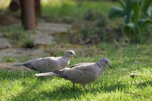 Pair Of Eurasian Collared Dove (Streptopelia Decaocto) On The Garden Lawn During A Sunny Day