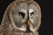 Great Grey Owl Face With Black...