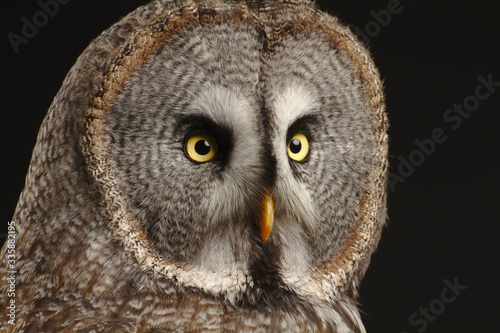 great grey owl face with black background Canvas-taulu