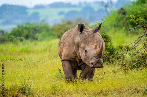 Portrait of an African white Rhinoceros or Rhino or Ceratotherium simum also kno Billede på lærred