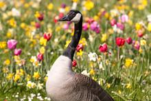 Canada Goose (in German Kanadagans, Branta Canadensis)