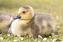 Canada Goose Chick (in German Kanadagans, Branta Canadensis)