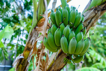 Green Unripe Bananas Growing O...