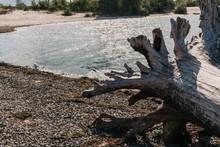 Large Log With Roots On A Rive...
