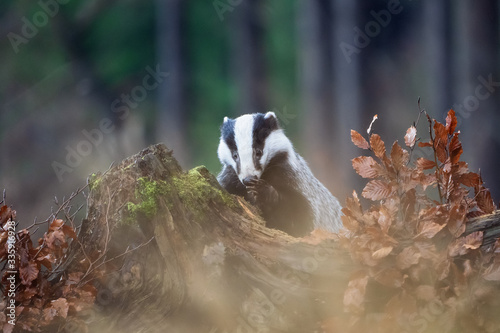 Cuadros en Lienzo European badger with his paw in the forest. Meles meles.