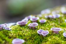 Small Ruddy Panus Mushrooms (P...