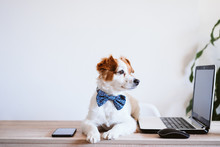 Cute Jack Russell Dog Working ...