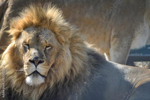 Photo Gros plan d'une lion et lionne pendant leurs ébats  avec un beau regard calme su