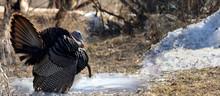 Wild Turkey In Nature During Spring