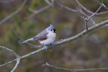Tufted Titmouse Perched In An ...