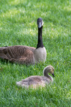 Canadian Goose Mom Is Guarding...