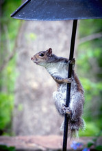 An Active Squirrel Is Looking  Happy From The Top Of A Pole That Holds A Bird Feeder In This Springtime Garden