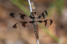 A Female Common Whitetail Dragonfly Perches Upon A Stick. North Carolina.