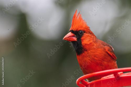 Canvas Print Cardinal Guarding Feeder