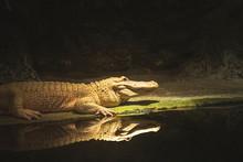 Albino Alligator With Reflection