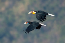 Closeup Wreathed Hornbill Flying On Sky (Male And Female) Eye-level Shot