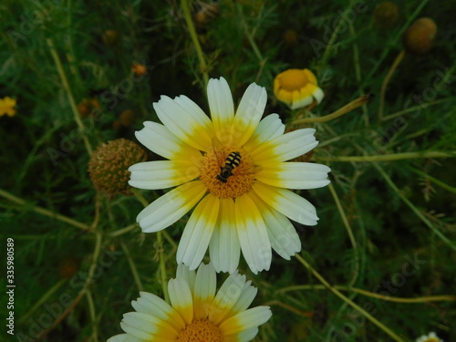 Photo White and Yellow Daisy, a honey bee sitting on flower anther on blurred green background