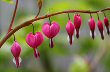 Pink Bleeding Hearts