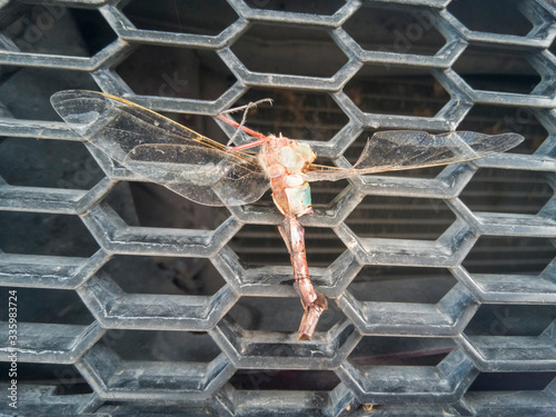 Photo libélula muerta en la fácea de un auto.