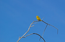 Yellow Warbler Singing On A Branch In Malheur NWR, Oregon