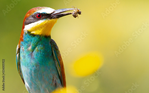 Leinwand Poster Merops apiaster, common bee-eater. With a bee in its beak