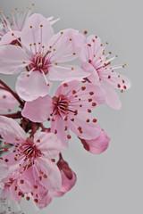 Fototapeta Drzewa beautiful fresh spring pink cherry tree flowers
