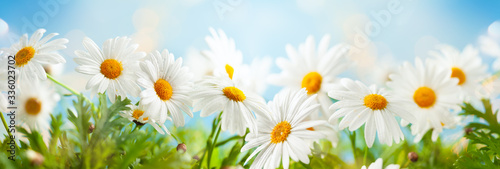 Beautiful chamomile flowers in meadow Poster Mural XXL