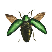 Watercolor Painted Tropical Exotic Sternocera Beetle With Open Wings Isolated On White Background, Entomological Realistic Drawing. For The Design Of Poster, Textile, Print. Unusual Asian Insect