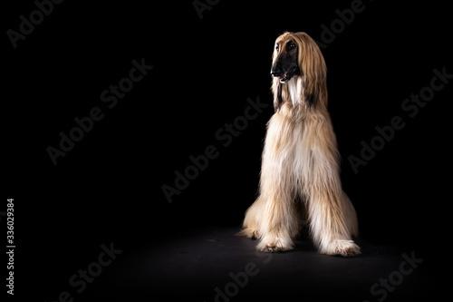 Photo Afghan hound