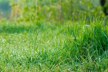 Tall Green Grass Close Up. Bea...