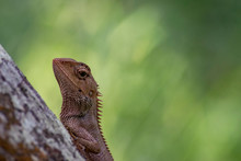 Lizard On A Tree Da Nang, Viet...