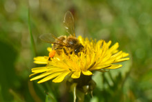 Honey Bee On Dandelion Flower. Honey Bee Pollinating On Spring Meadow