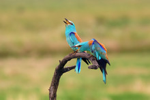 The European Roller (Coracias Garrulus) Flowing Pair On Branch With Green Field In Background.
