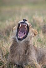 Lion Yawning In The Savuti Botswana
