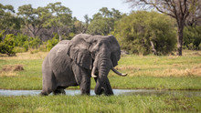 Big Elephant Bull Eating In The River Kwai In Botswana