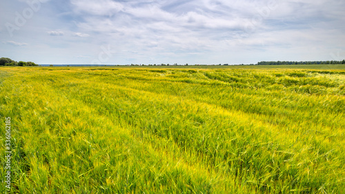 Fotomurales - Scenic view of Wheat Field and bright blue sky with cumulus and cirrus. Rural summer Landscape. Beauty nature, Agriculture and seasonal Harvest time. Cultivation cereals. Agribusiness.