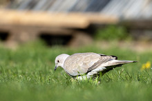 A Pigeon In A Garden On The Gr...