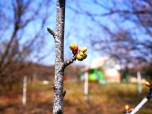 Tree Branch With Buds That Jus...