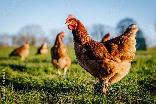 Huhn oder Henne auf einer grünen Wiese Canvas