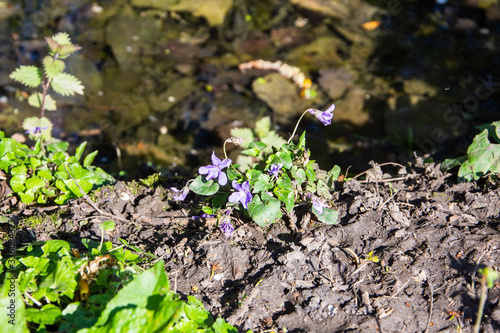 Photo A small Wood Dog Violet, early dog violet, Viola rivenbachiana, growing next to