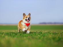 Beautiful Red Corgi Dog Puppy ...