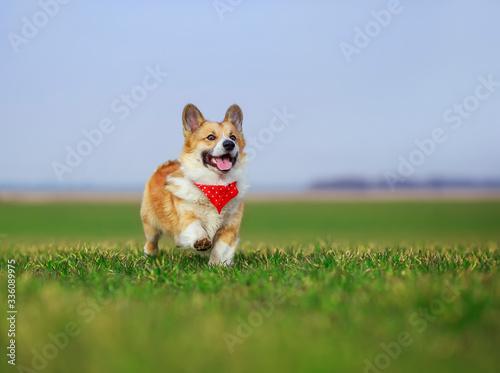 beautiful red Corgi dog puppy Pembroke runs merrily across a green meadow open m Fototapet