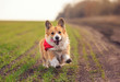 beautiful red Corgi dog puppy Pembroke runs merrily along the summer road on a Sunny day