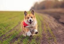 Beautiful Red Corgi Dog Puppy Pembroke Runs Merrily Along The Summer Road On A Sunny Day