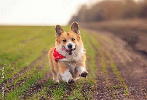 beautiful red Corgi dog puppy Pembroke runs merrily along the summer road on a S Wallpaper Mural