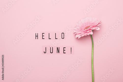Fototapeta Hello June text and pink gerbera flower on pink background