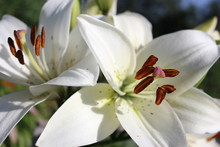 Two White Lily Flowers In The Garden On A Bright Summer Sunny Day, Petals And Stamens With Orange Pollen
