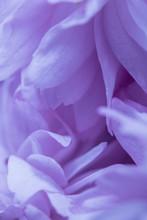 Close Up Of Fresh Cherry Bloss...