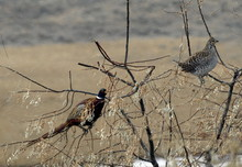 Ring Necked Pheasant And Sharptail Grouse On Russian Olive Tree